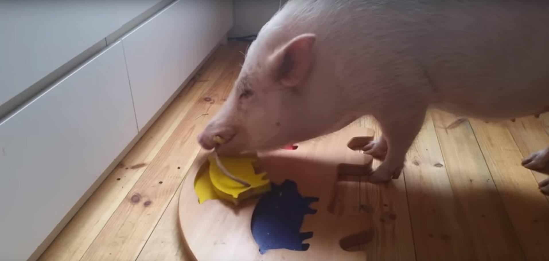 Intelligence animale, cause animale, Intelligence du cochon