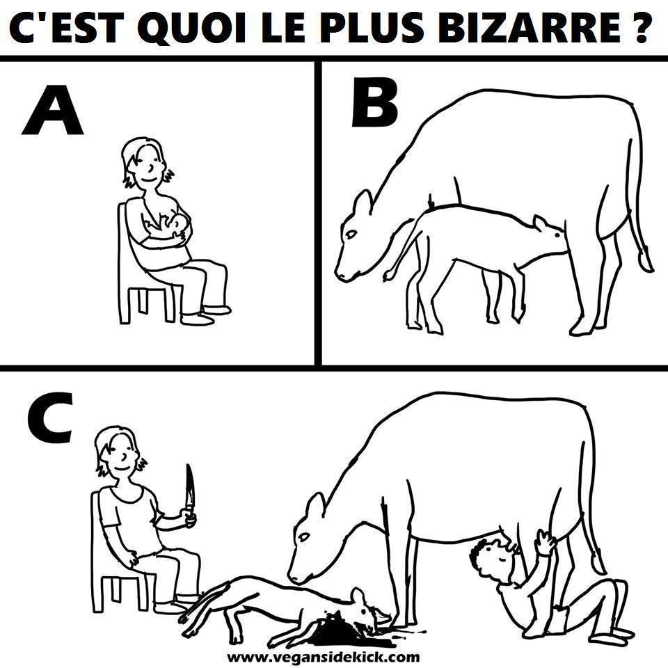 C'est quoi le plus bizarre, prendre le lait d'une vache ou le laisser à son veau?