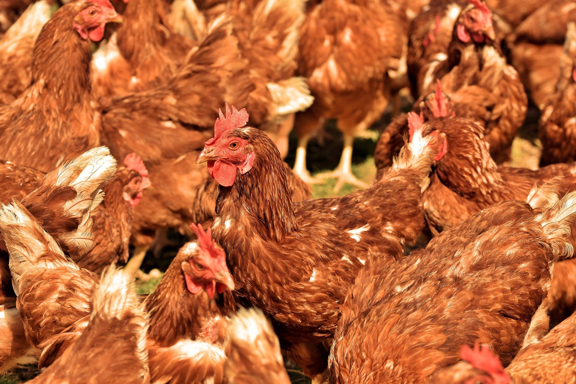 les poulets d'élevage souffrent